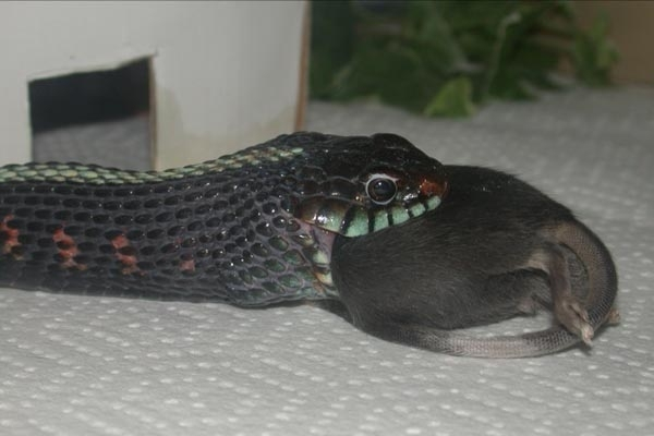 кого ест змея