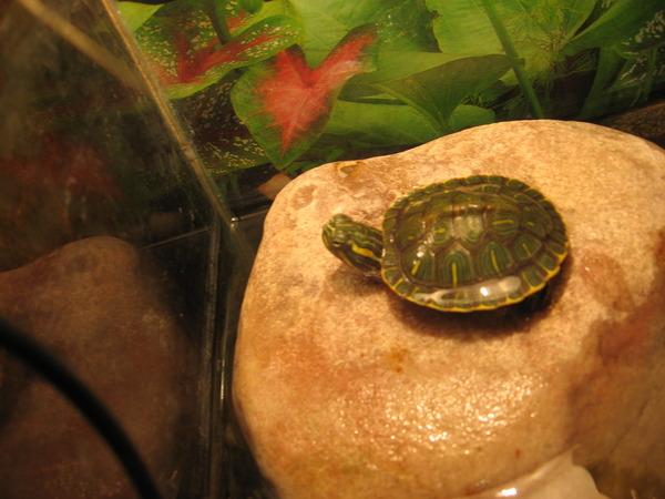 Сколько нужно кормить красноухих черепах в день