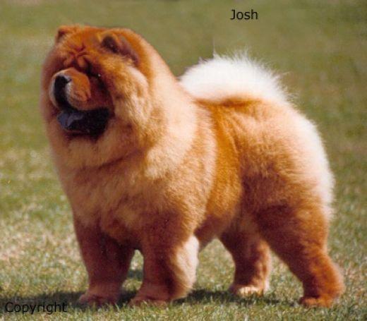 чау-чау фото цена щенка фото