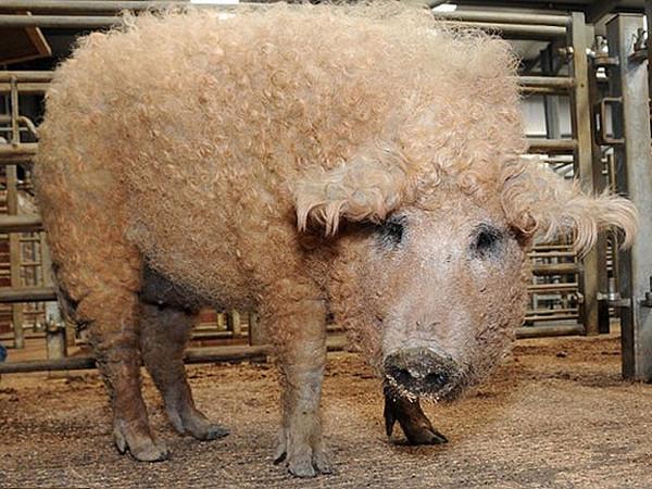 думаю, что свинья баран фото специалисты разрабатывают