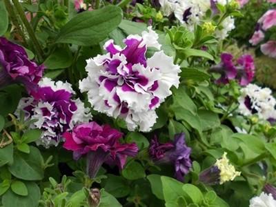 Цветы для палисадника неприхотливые
