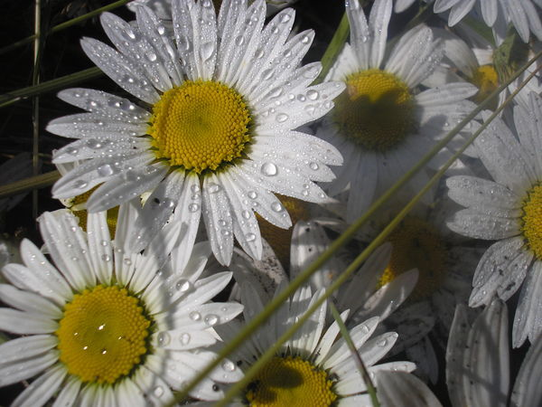 картинки цветов тюльпан ромашка василек гвоздика подсолнух несколько схем для