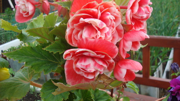 Цветок похож на розу