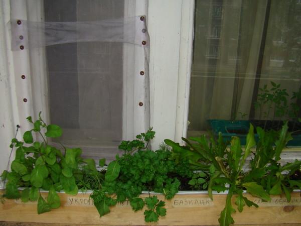 Ответы@mail.ru: как вырастить зелень: укроп, салат, петрушку.