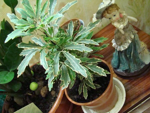 Комнатное растение похожее на коноплю эфирные масла из конопли