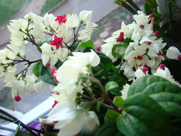 Слёзы христа цветок