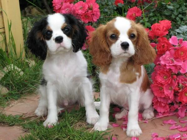 фото спаниель порода собаки