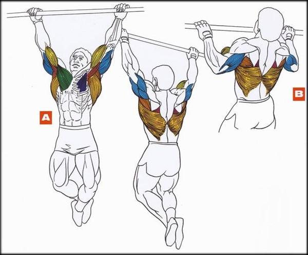 какие групаы мускул работают при подтягивании