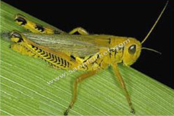 the grasshopper and the bell cricket analysis