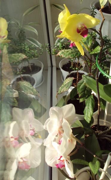 Орхидея скинула цветы
