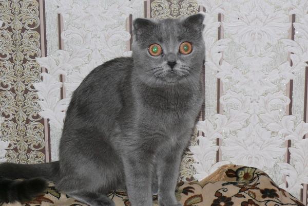 Поднялись уши у вислоухого кота