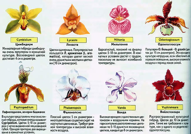 Описание комнатного цветка орхидея