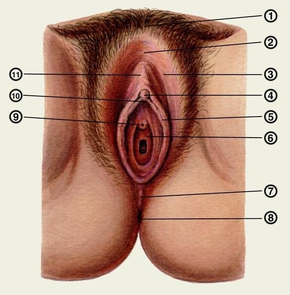 Железа между анусом и вагиной