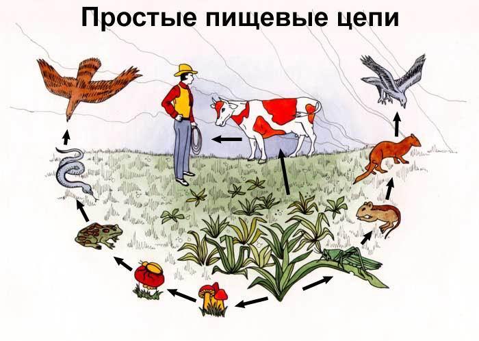 Схема питания лугового сообщества 4 класс фото 708