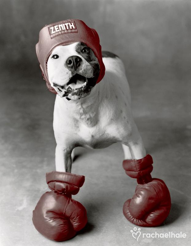Животные боксеры смешные картинки