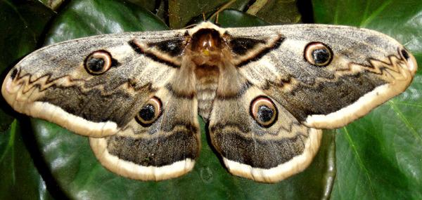 бабочка большая ночная