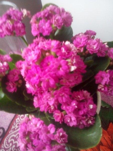 Комнатные цветы и кустарники с розовыми цветами: домашние 20