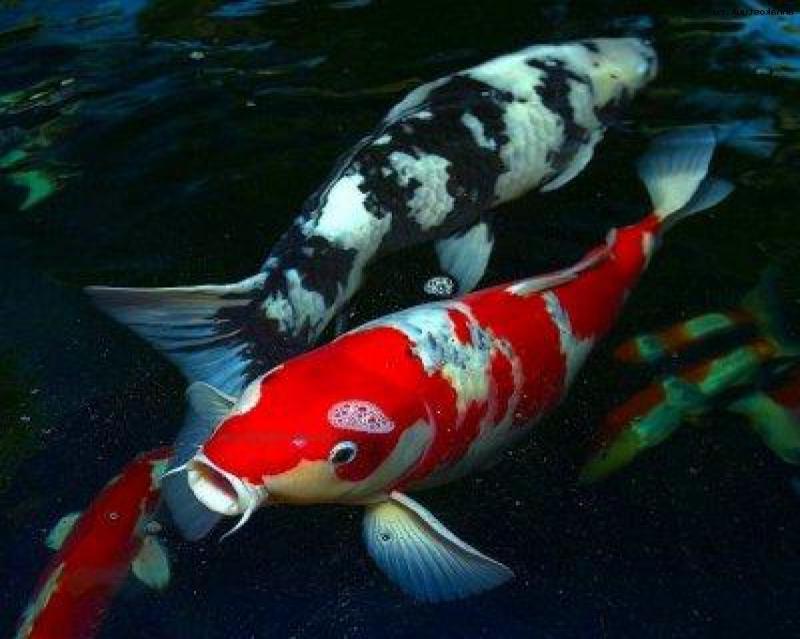 китайские рыбки фото