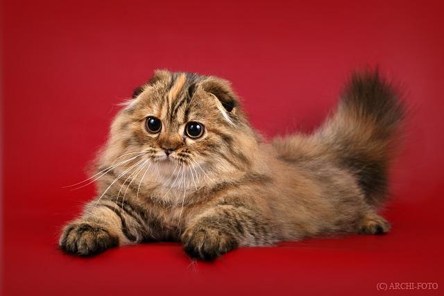 Вислоухий кот пушистый