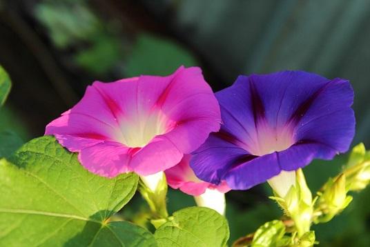 вьюн фото цветок