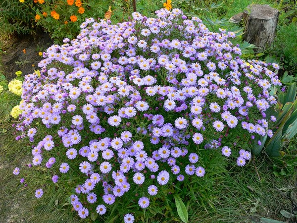 садовые цветы цветущие осенью фото и названия