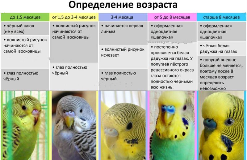 Какой должен быть клюв у волнистого попугая