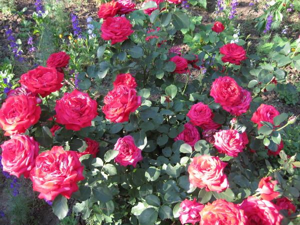 актуальное сегодня пересаживать розы во сне ответы майл Дамаске люди