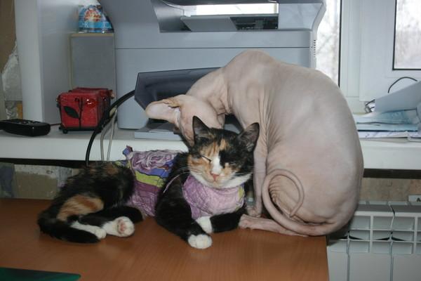 Во сколько месяцев кастрируют кошек