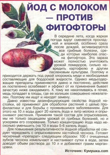 Как спасти помидоры от фитофторы если уже заболели