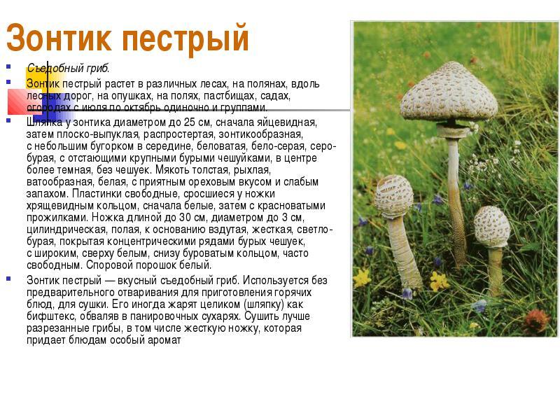 Зонтичные грибы в картинках ядовитые и съедобные