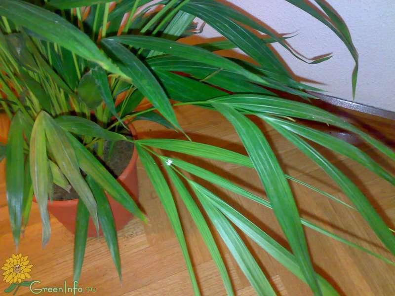 Сохнет хризолидо карпус пальма