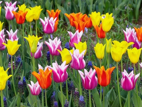 Значение сна тюльпаны