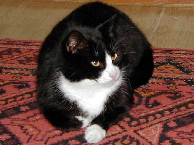 Чему белым черный к кот сниться с