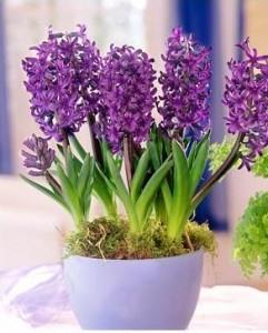 Комнатные фиолетовые цветы