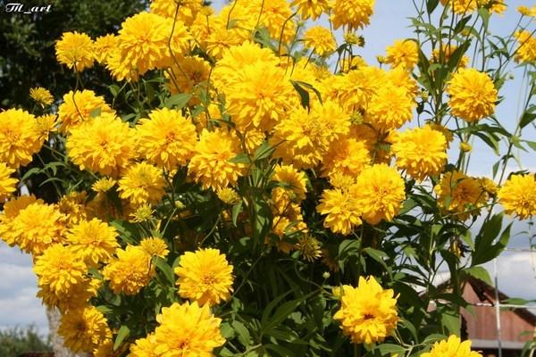 Золотые шары фото цветов