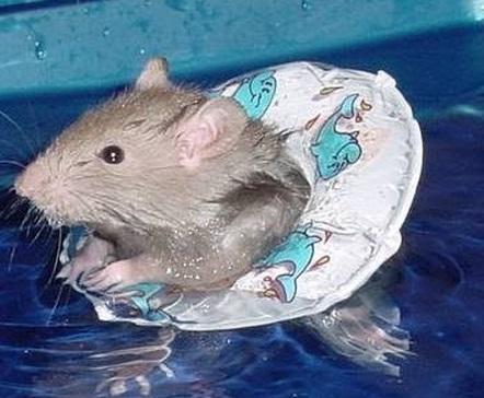 Сколько живет крыса без воды