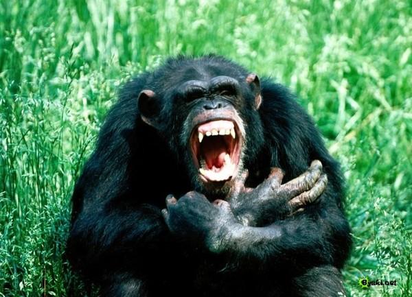 Приматы очень агрессивный вид