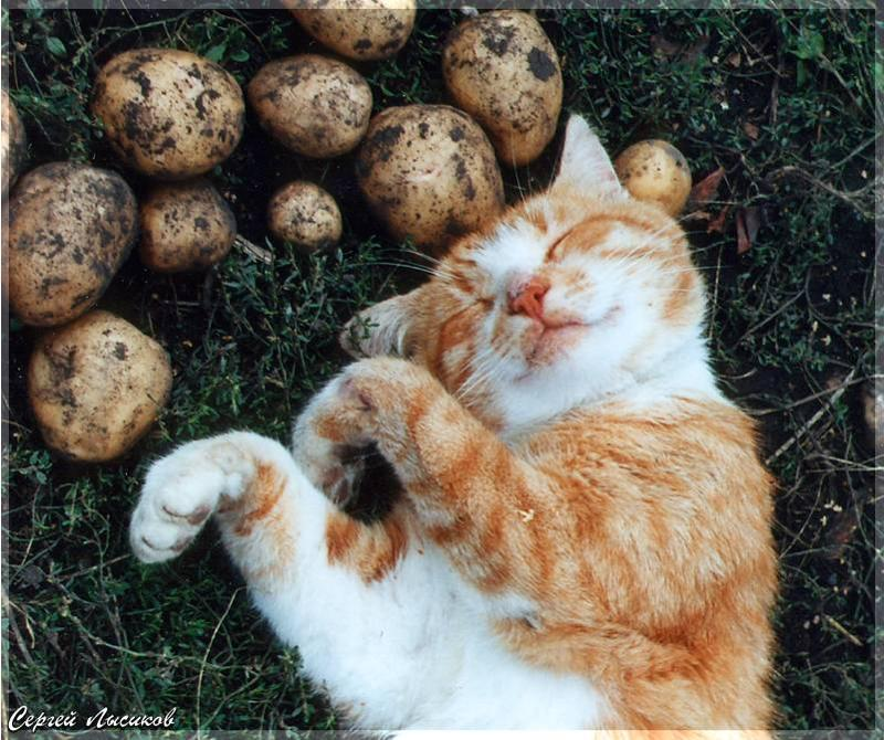 Открытка на картошку