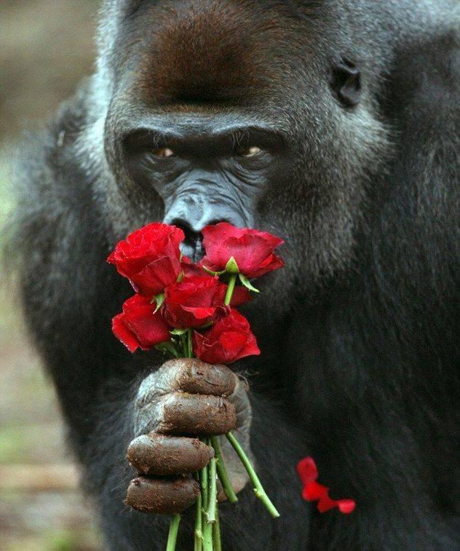 Открытка с гориллой, для