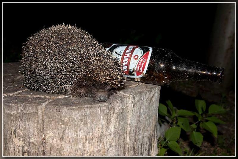 Ночи, картинки с ежиком прикольные пьяный
