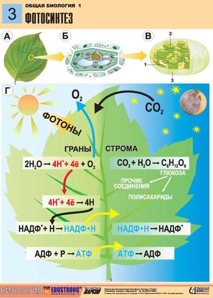 топик по английскому про фотосинтез посещения