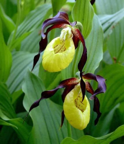 Дамская туфелька цветок
