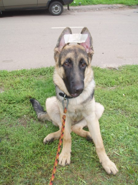 фото немецкой овчарки щенок 3 месяца
