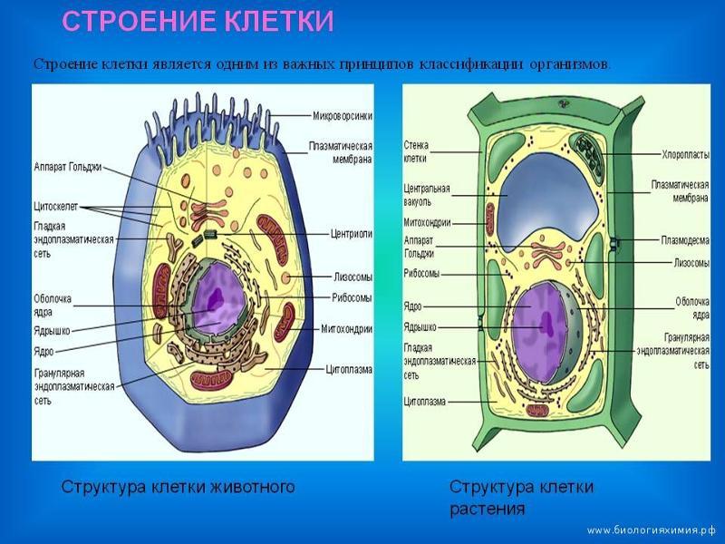 Общее строение животной клетки Цитология Реферат доклад  Строение клетки 5 класс биология реферат