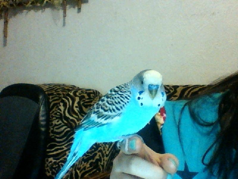 Спящий волнистый попугай фото
