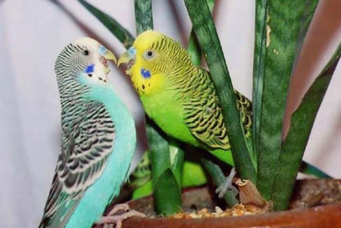 Разновидности волнистых попугаев с фото с описанием
