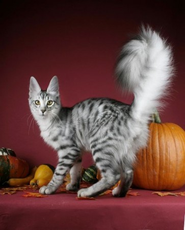 What cat tail movements mean