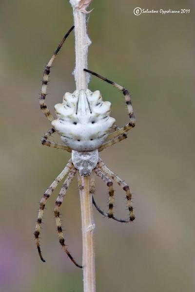 паук аргиопа лобата фото и описание языка фото запущенной
