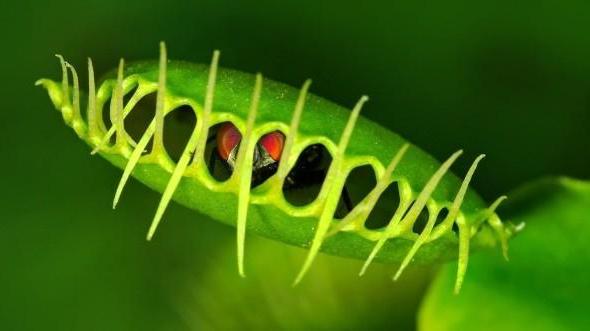 Цветок который ест мух как называется