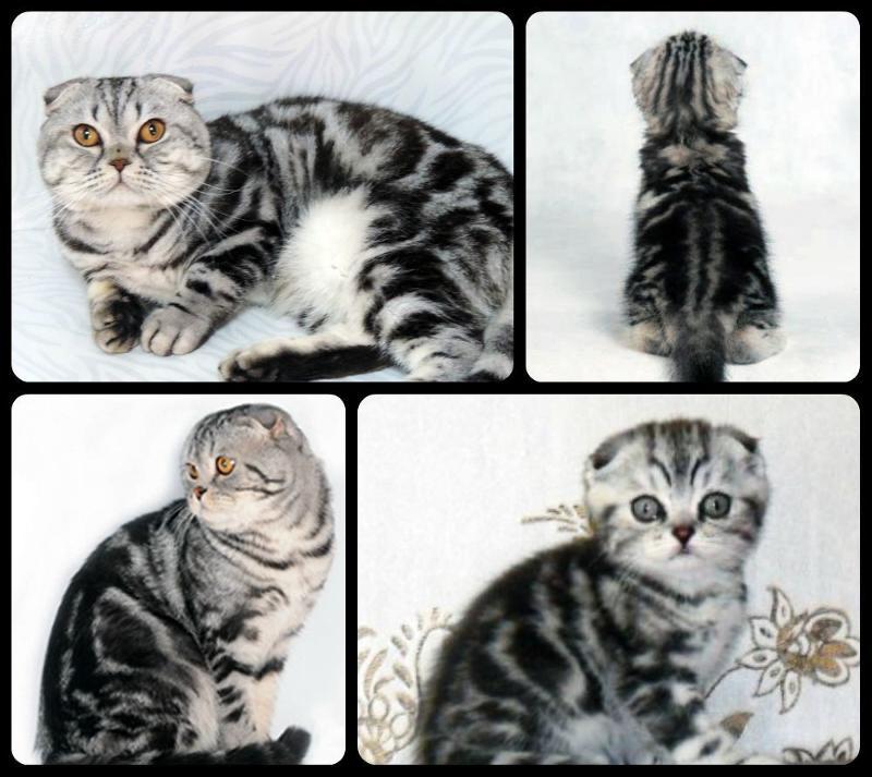 окрасы шотландских кошек картинки и название одно главных